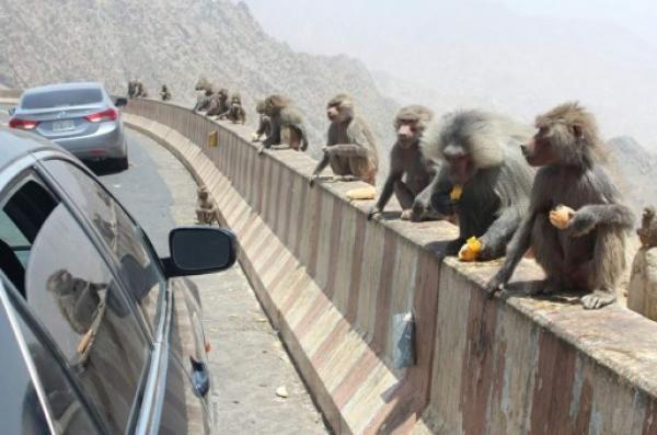 حكاية البلد الذي يفوق عدد القردة فيه عدد السكان