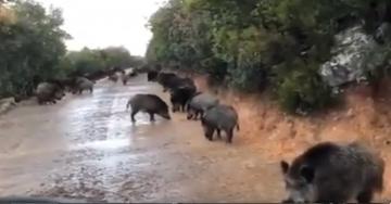 الخنزير البري يتجول بحرية في طنجة في زمن الحجر الصحي