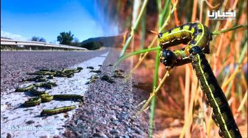 جحافل من الحشرات تجتاح منطقة امسكرود شمال أكادير أمام محدودية تدخلات الجهات الوصية