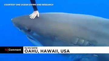 شاهد: فتاة وخطيبها يسبحان مع القرش الأبيض في هاواي