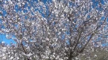 أشجار تُزهر في عز الشتاء بمنطقة إمي نتورزا بتنغير