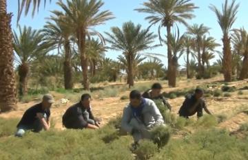 الكمون بين معيقات الزراعة والتسويق ودعم وزارة الفلاحة