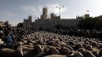 شاهد: الخرفان تعوض السيارات في شوارع مدريد