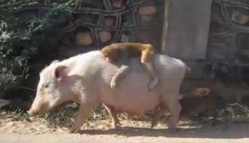 """علماء صينيون يعلنون عن """"انتاج""""أول كائن هجين بين الخنزير والقرد"""