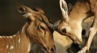 أمريكا تسجل أول إصابات لغزلان بكورونا في العالم