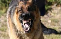 القبض على عصابة تستخدم كلبا من فصيلة شرسة في أعمال السرقة بالعنف