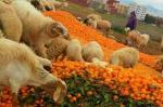 """بالفيديو...المزارعون يواصلون رمي البرتقال والكليمونتين بسبب تراجع الأسعار ووزارة """"أخنوش"""" تتفرج"""